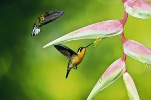 Colibri se nourrissant - John Wiseman