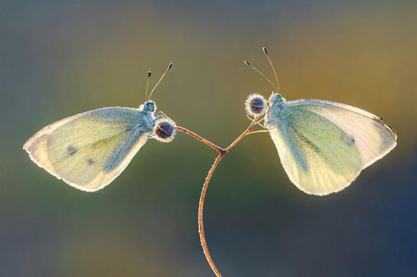 Duo de papillons-Petar Sabol