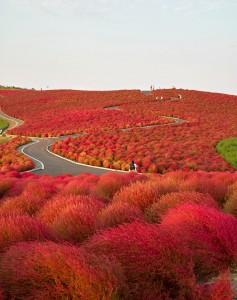 Hitachi-seaside-park-Japon