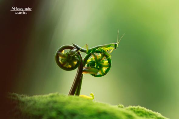 Mante religieuse à vélo - tustelico
