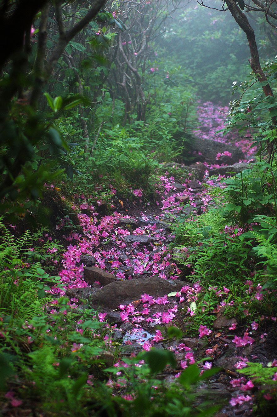 chemin-rododendron-mont-Roger-Virginie-USA