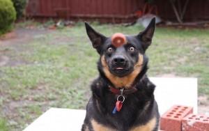 chien-louche-regarde-balle