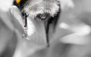 couleur-unique-noir-blanc-abdomen-abeille-butine