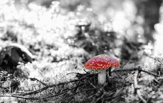 couleur-unique-noir-blanc-champignon-amenite-sol-foret-mousse
