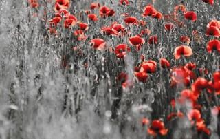 couleur-unique-noir-blanc-champs-coquelicot-rouge
