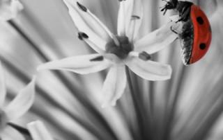 couleur-unique-noir-blanc-coccinelle-sur-fleur-rouge-points-noirs