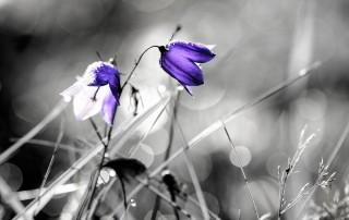 couleur-unique-noir-blanc-fleur-iris-violet