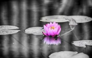 couleur-unique-noir-blanc-nenuphar-ouvert-rose-flotte-etang