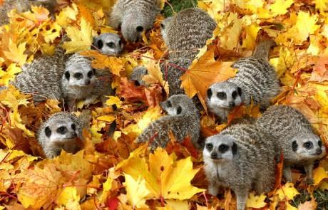 magie-automnale-famille-suricate
