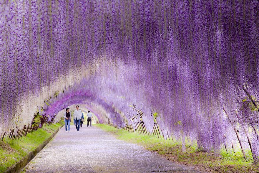 tunnel-Wisteria-Japon