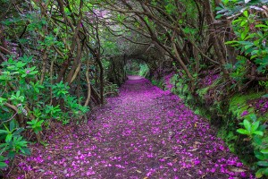 tunnel-rododendron-Reenagross-Irlande